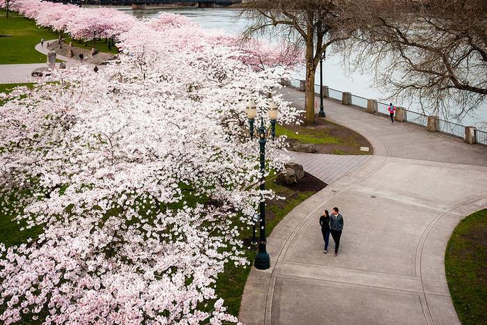цветение сакуры фото 12 (700x467, 520Kb)