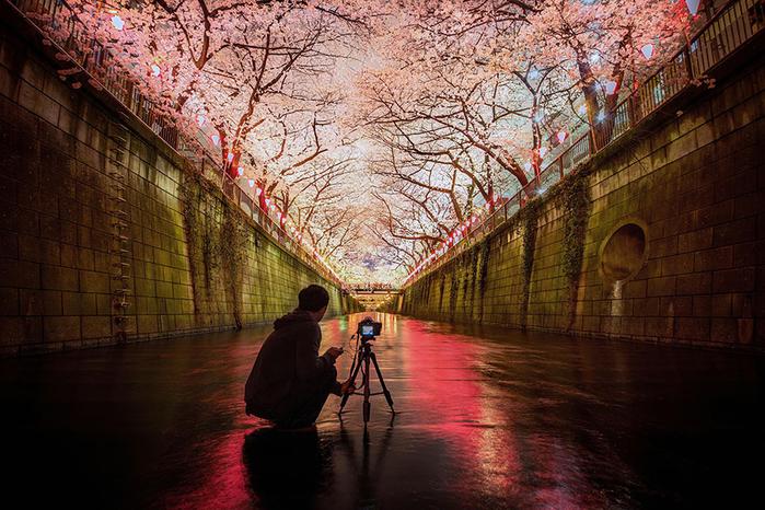 цветение сакуры фото 15 (700x466, 478Kb)