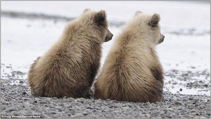 медвежата1