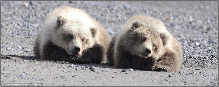медвежата2