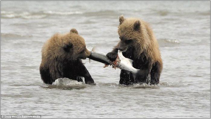 медвежата3