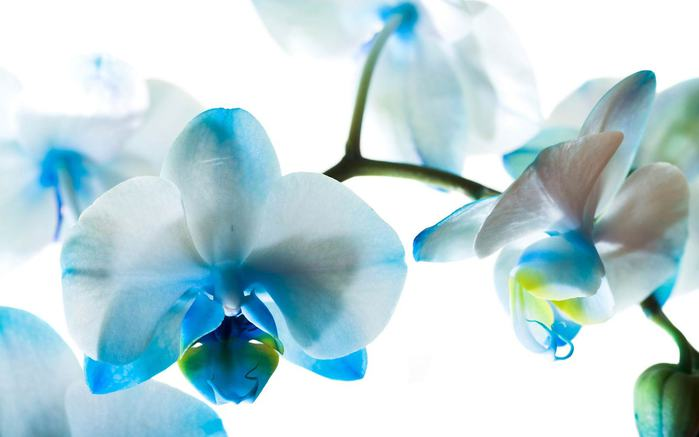 Голубые цветы (700x437, 27Kb)