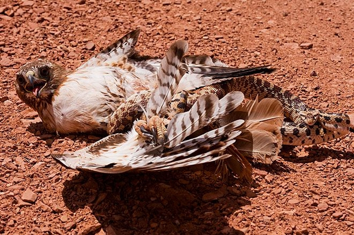орел-змееяд фото 2 (700x465, 538Kb)