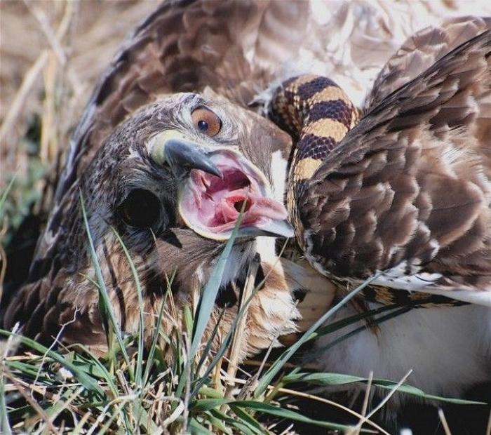 орел-змееяд фото 4 (700x620, 472Kb)