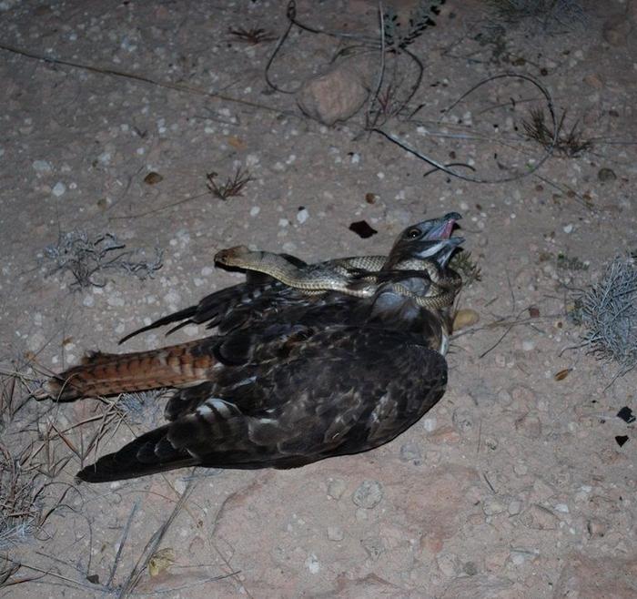 орел-змееяд фото 8 (700x658, 448Kb)
