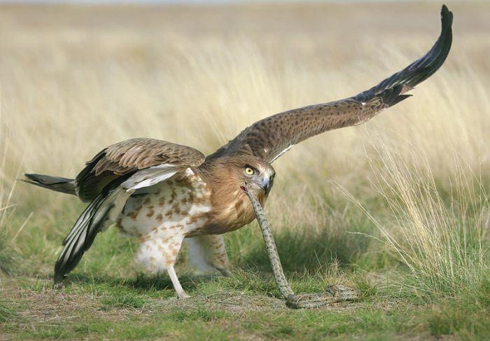 орел-змееяд фото 10 (700x487, 235Kb)