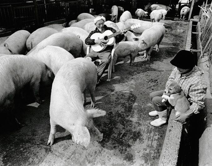смешные свинки фото 6 (680x534, 200Kb)