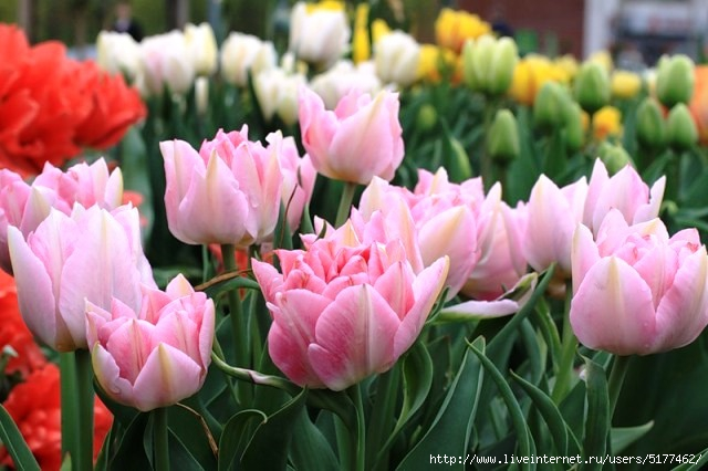 Тюльпаны восхищают нас