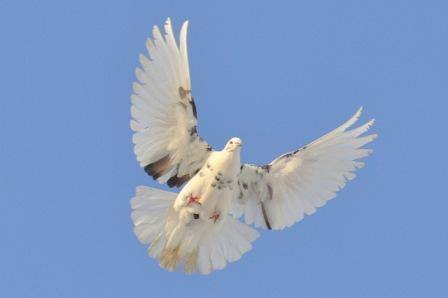 голубь (448x298, 8Kb)