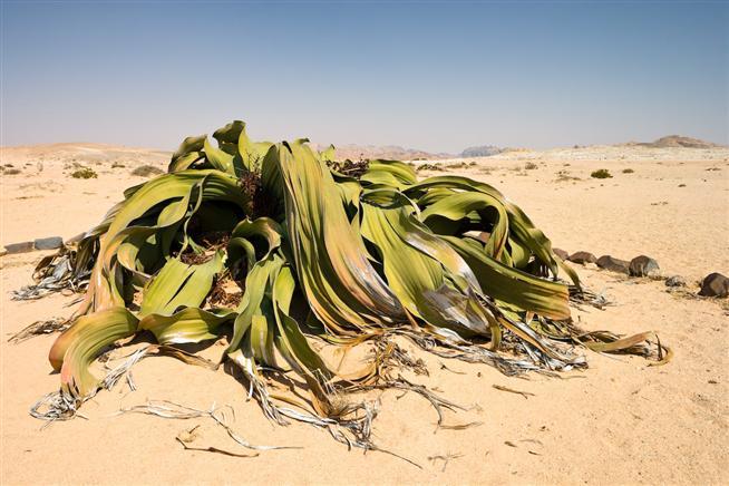 реликтовые растения фото 7 (654x436, 268Kb)
