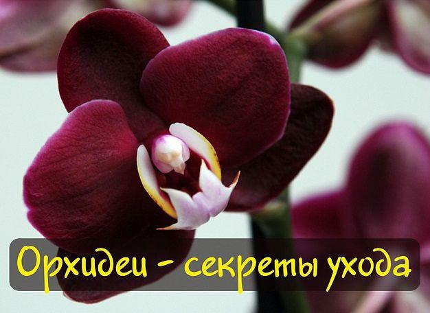 5214591_falenopsis (626x456, 41Kb)