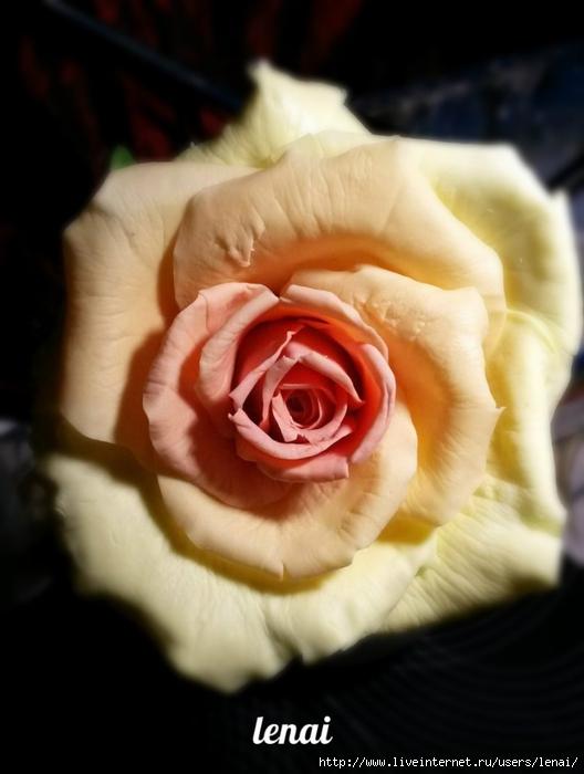 роза.jpg3 (528x700, 172Kb)