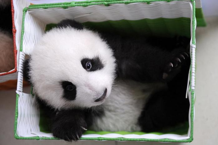 панды фото 12 (700x466, 249Kb)