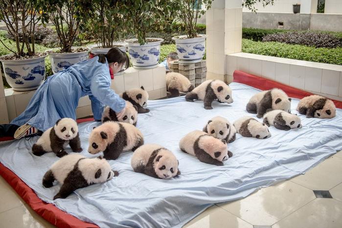 панды фото (700x466, 390Kb)