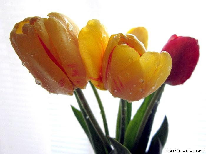 дачные тюльпаны (1) (700x525, 198Kb)