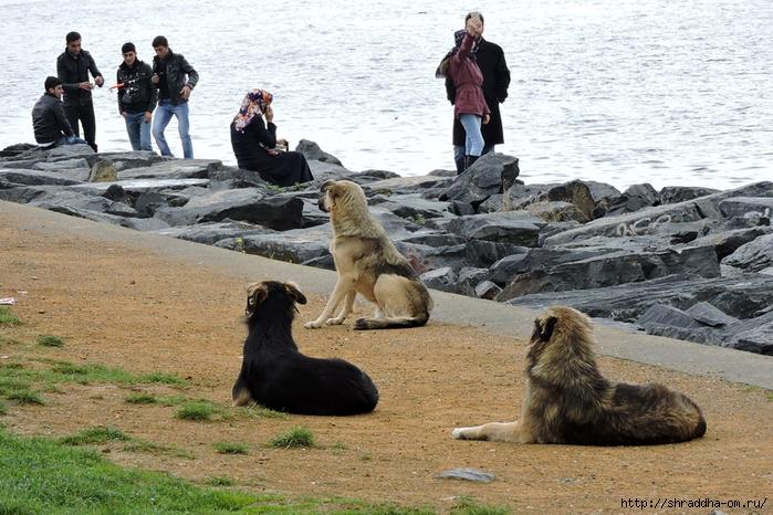 Собаки Стамбула (2) (700x466, 336Kb)