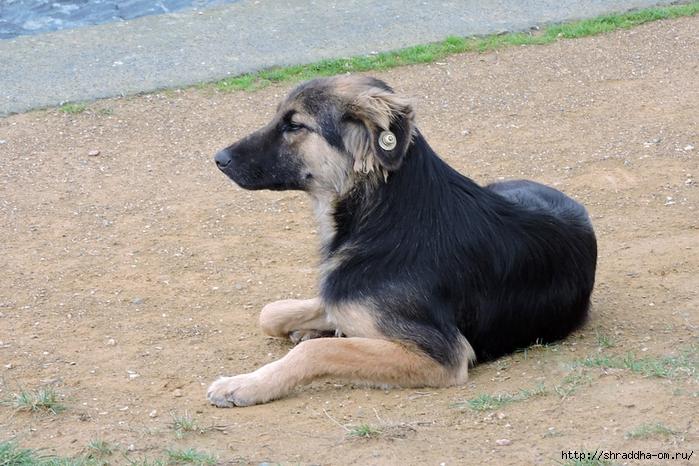 Собаки Стамбула (4) (700x466, 326Kb)