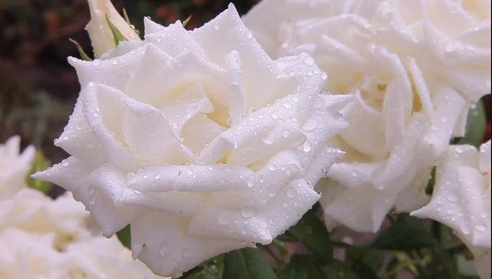 Роза с капельками росы и дождя1а (700x397, 218Kb)
