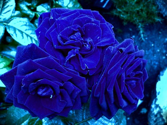 Роза с капельками росы и дождя2-1 (700x525, 489Kb)