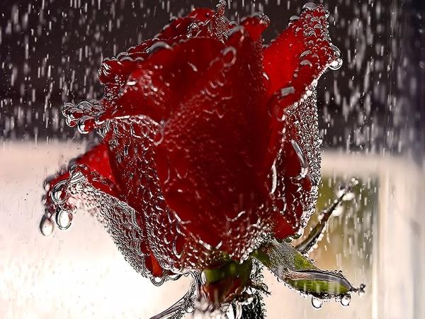 Роза с капельками росы и дождя2-2 (600x450, 351Kb)