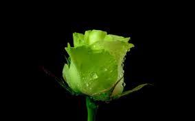 Роза с капельками росы и дождя2вв (284x177, 17Kb)