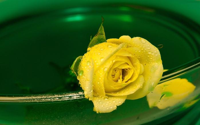 Роза с капельками росы и дождя2д (700x437, 300Kb)