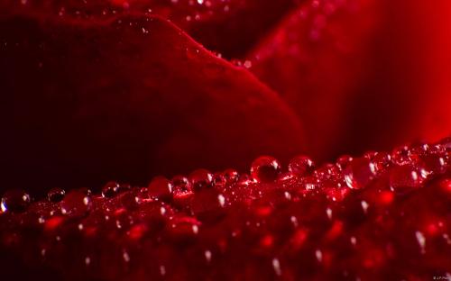 Роза с капельками росы и дождя2дд (500x312, 159Kb)