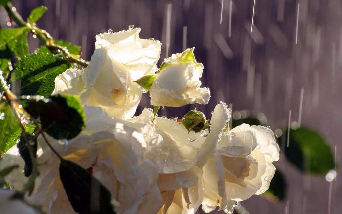 Роза с капельками росы и дождя5а (700x437, 279Kb)