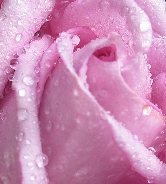 Роза с капельками росы и дождя6а (577x640, 326Kb)