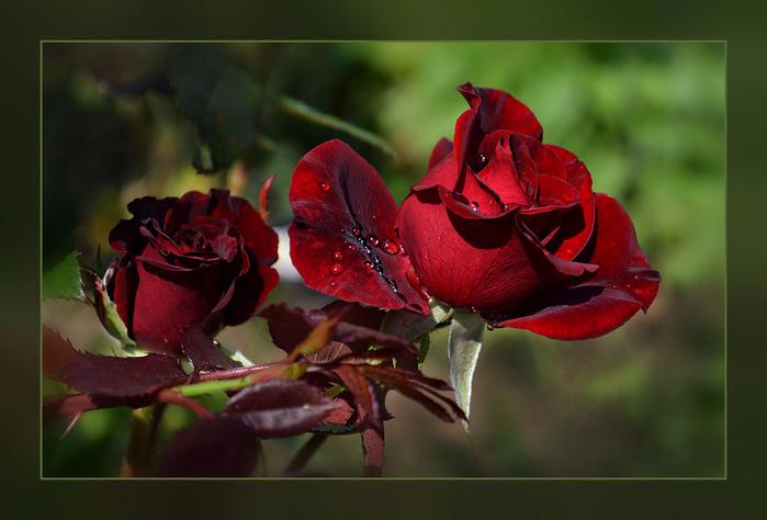 Роза с капельками росы и дождя6б (700x474, 287Kb)