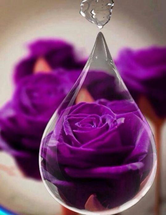 Роза с капельками росы и дождя7 (538x700, 305Kb)