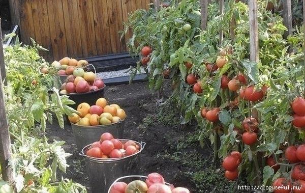 рецепт выращивания томатов (600x379, 194Kb)