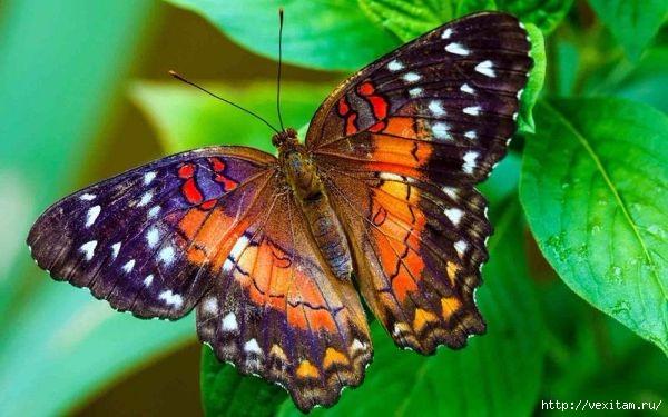 бабочки (600x375, 153Kb)