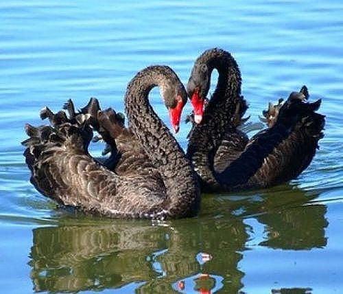 черные лебеди 3 (500x428, 188Kb)