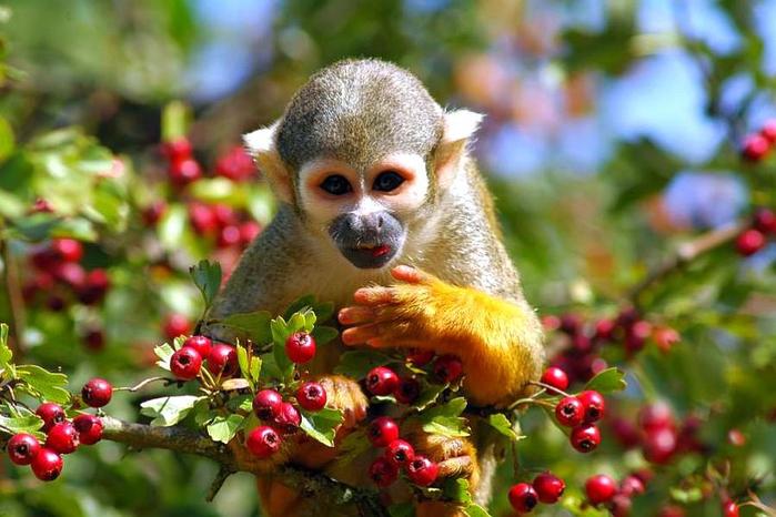 monkey_w_fruit-375297 (700x466, 369Kb)
