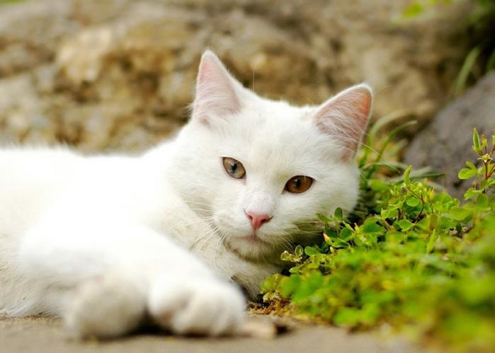 angora_cat_01 (700x499, 193Kb)
