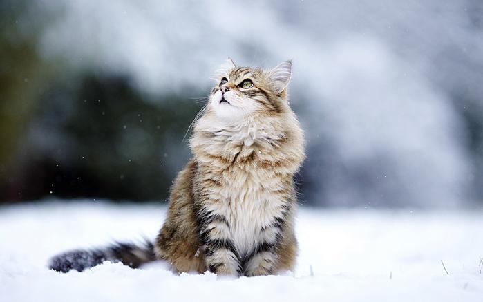 Снежные коты (20 фото)