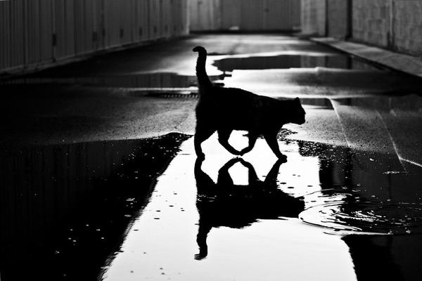 4427311_catblackandwhitephotography18 (600x400, 50Kb)