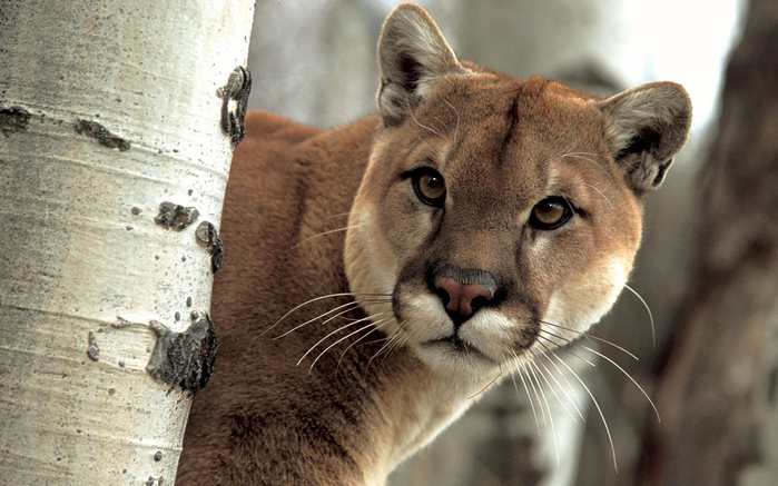 A-Watchful-Cougar (700x437, 349Kb)