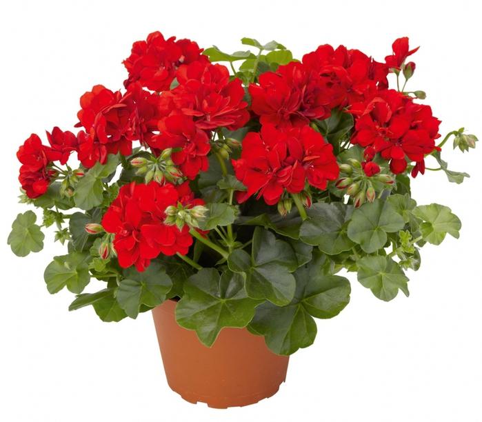 3937411_flower_1_2 (700x612, 266Kb)