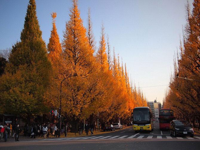 аллея деревьев кинго токио 2 (670x503, 318Kb)