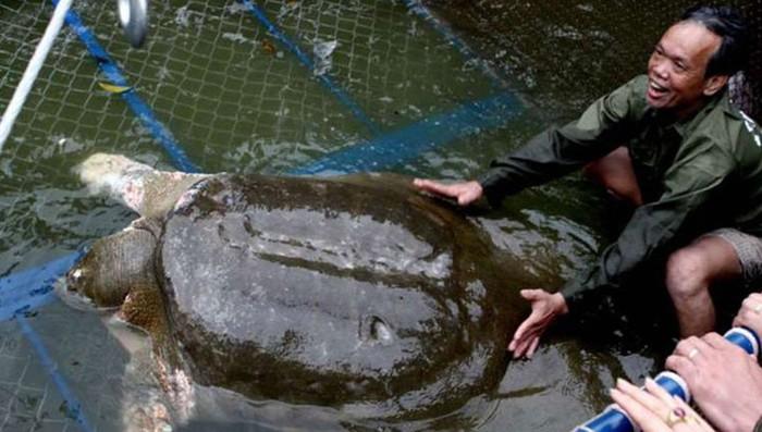Умерла гигантская 300 летняя черепаха, символ Ханоя