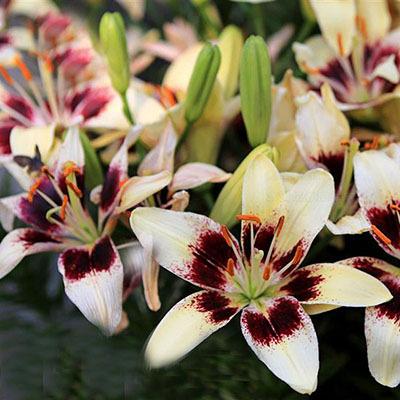 Specials Blue Heart Lily Plant Seeds Potted Bonsai Plant Lily Flower Seeds for Home Garden 50 Particles / lot/5863438_Skidkisiniivformeserdcalilirasteniivgorshkahbonsaizavodcvetokliliidlyadomasad3 (400x400, 65Kb)