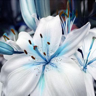 Specials Blue Heart Lily Plant Seeds Potted Bonsai Plant Lily Flower Seeds for Home Garden 50 Particles / lot/5863438_Skidkisiniivformeserdcalilirasteniivgorshkahbonsaizavodcvetokliliidlyadomasad9 (400x400, 50Kb)