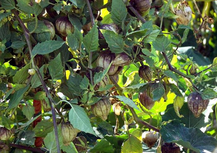 Физалис овощной выращивание и уход фото
