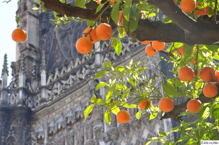 сбор апельсин в севилье 2 (700x464, 385Kb)