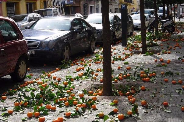 сбор апельсин в севилье