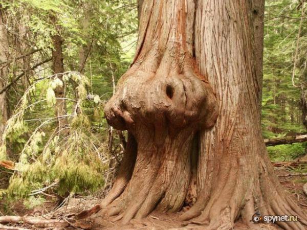 Странно-причудливые деревья 19 (600x450, 284Kb)