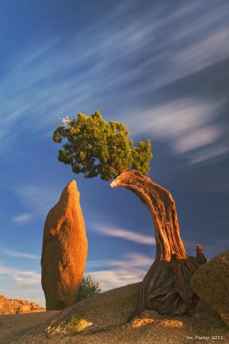 Странно-причудливые деревья 15 (466x699, 244Kb)