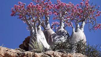 Странно-причудливые деревья 27 (338x190, 89Kb)